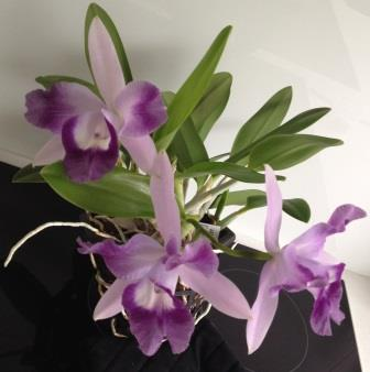 Lc caridad's Mini Quinee 'Angels Kiss'.jpg